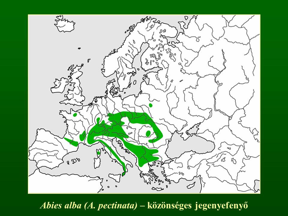 Ciprusfélék családja – Cupressaceae Pikkelyleveles (ritkán tűleveles) fajok A levelek átellenesek (ritkán örvösek), fennmaradva elfásodnak Hajtáscsúcsi virágzatok A fedő- és termőpikkelyek nem különülnek el, tobozuk megfásodik
