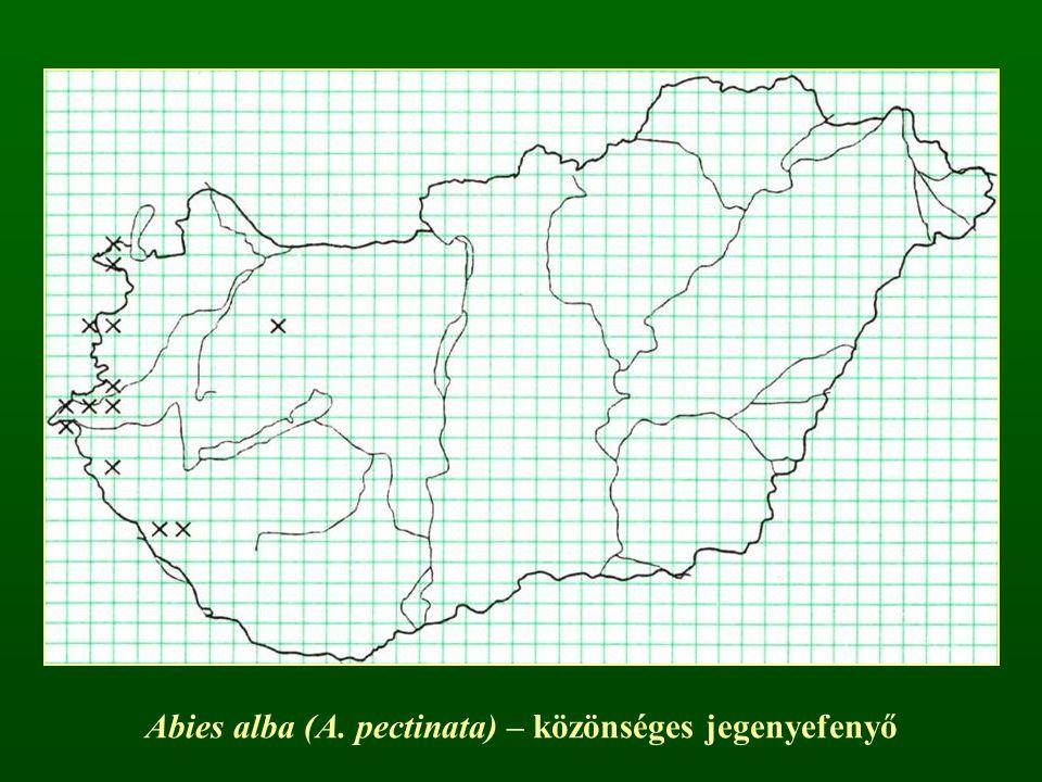 Hamisciprus nemzetség – Chamaecyparis Lapos hajtások, pikkelylevelek Gömbös tobozok, széles pajzs