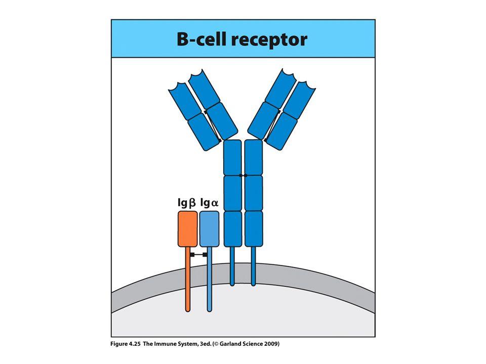 Ig-  /CD79a Ig-  /CD79b ITAM: Immunoreceptor Tyrosine-based Activation Motif   Y Y Y Y ITAM ITAM Ig domain + CHO SIGNALING UNITS OF THE B-CELL RECEPTOR ITAM: YxxL x7 YxxI