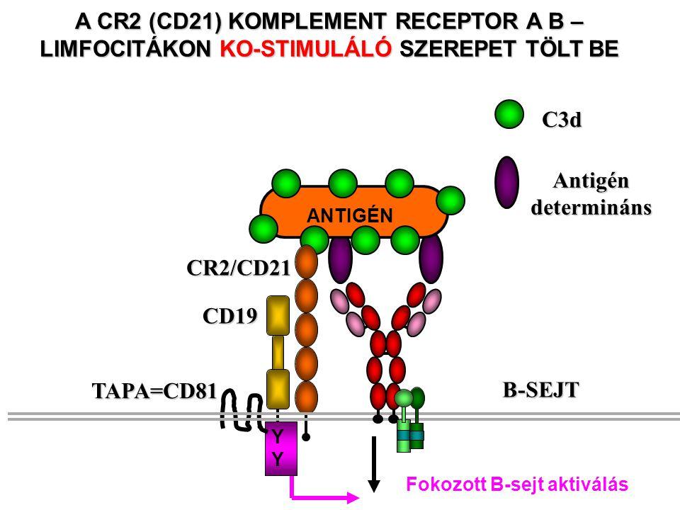 Antigén determináns C3d A CR2 (CD21) KOMPLEMENT RECEPTOR A B – LIMFOCITÁKON KO-STIMULÁLÓ SZEREPET TÖLT BE ANTIGÉN CR2/CD21 CD19 YYYY TAPA=CD81 Fokozott B-sejt aktiválás B-SEJT