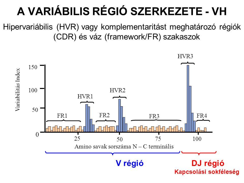 A VARIÁBILIS RÉGIÓ SZERKEZETE - VH Hipervariábilis (HVR) vagy komplementaritást meghatározó régiók (CDR) és váz (framework/FR) szakaszok HVR3 FR1 FR2 FR3 FR4 HVR1 HVR2 Variabilitás Index 25 75 50 100 Amino savak sorszáma N – C terminális 150 100 50 0 V régióDJ régió Kapcsolási sokféleség