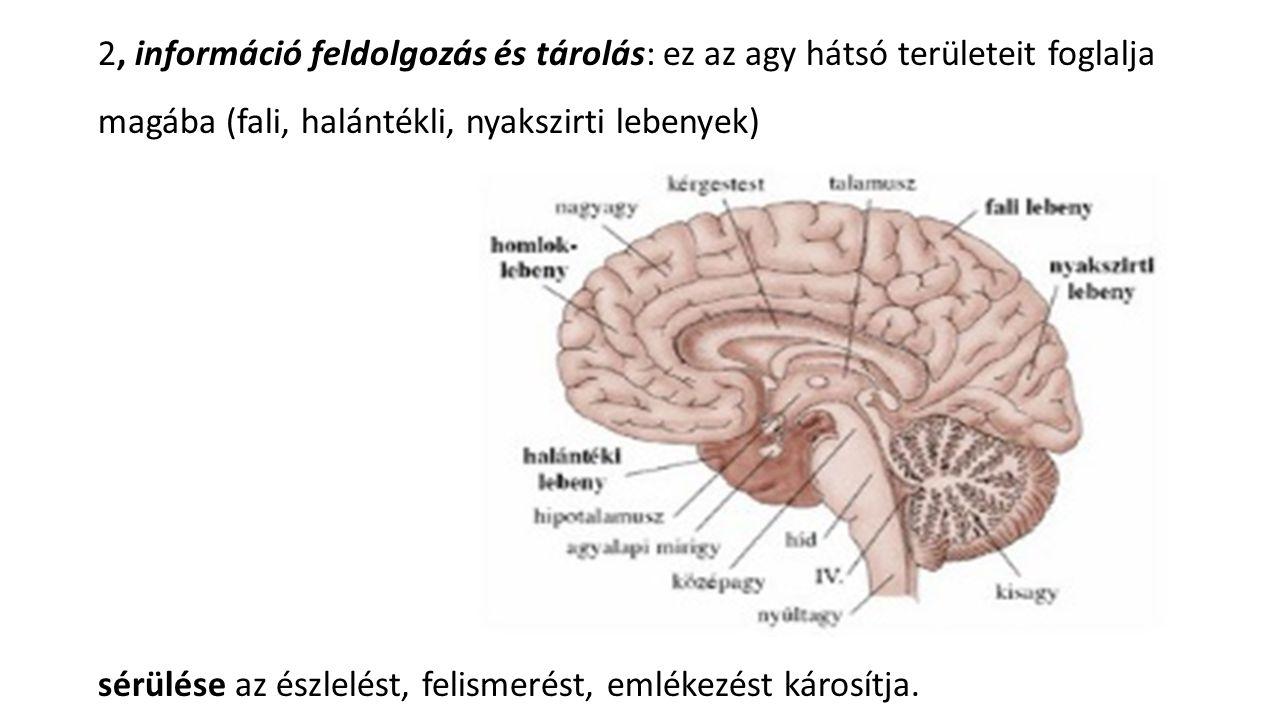 2, információ feldolgozás és tárolás: ez az agy hátsó területeit foglalja magába (fali, halántékli, nyakszirti lebenyek) sérülése az észlelést, felism