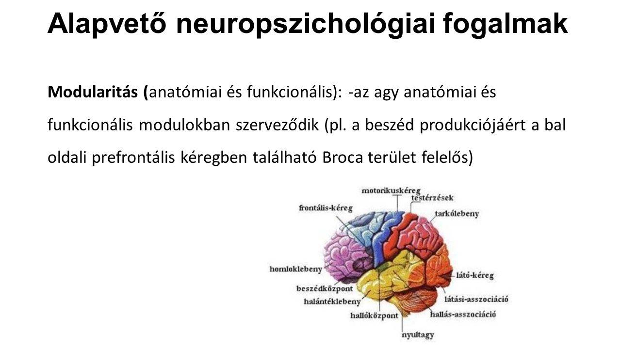 Alapvető neuropszichológiai fogalmak Modularitás (anatómiai és funkcionális): -az agy anatómiai és funkcionális modulokban szerveződik (pl. a beszéd p