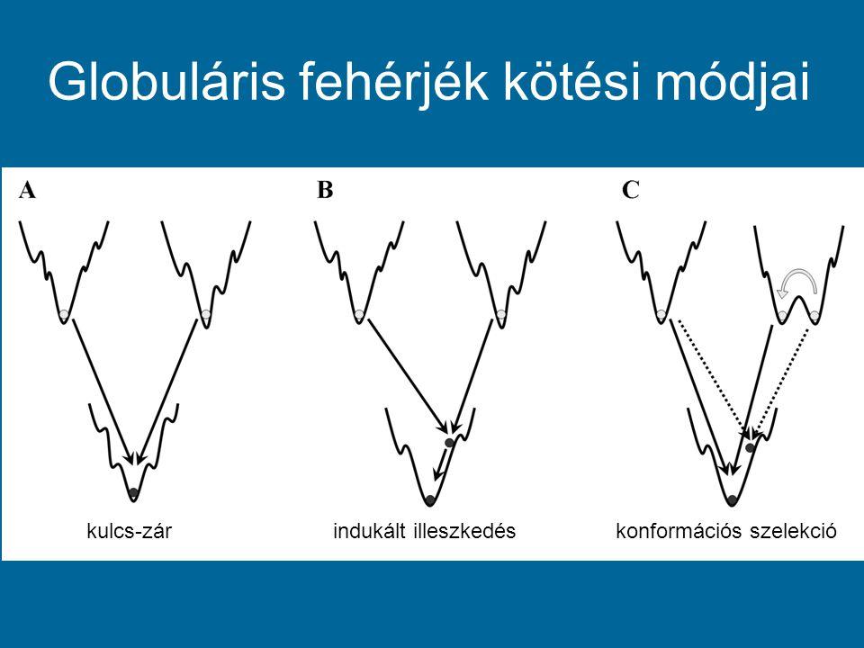 Globuláris fehérjék kötési módjai kulcs-zárindukált illeszkedéskonformációs szelekció