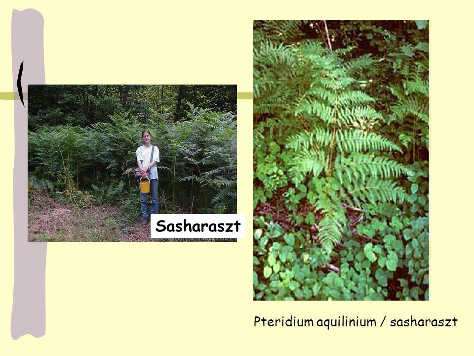 Pteridium aquilinium / sasharaszt Sasharaszt