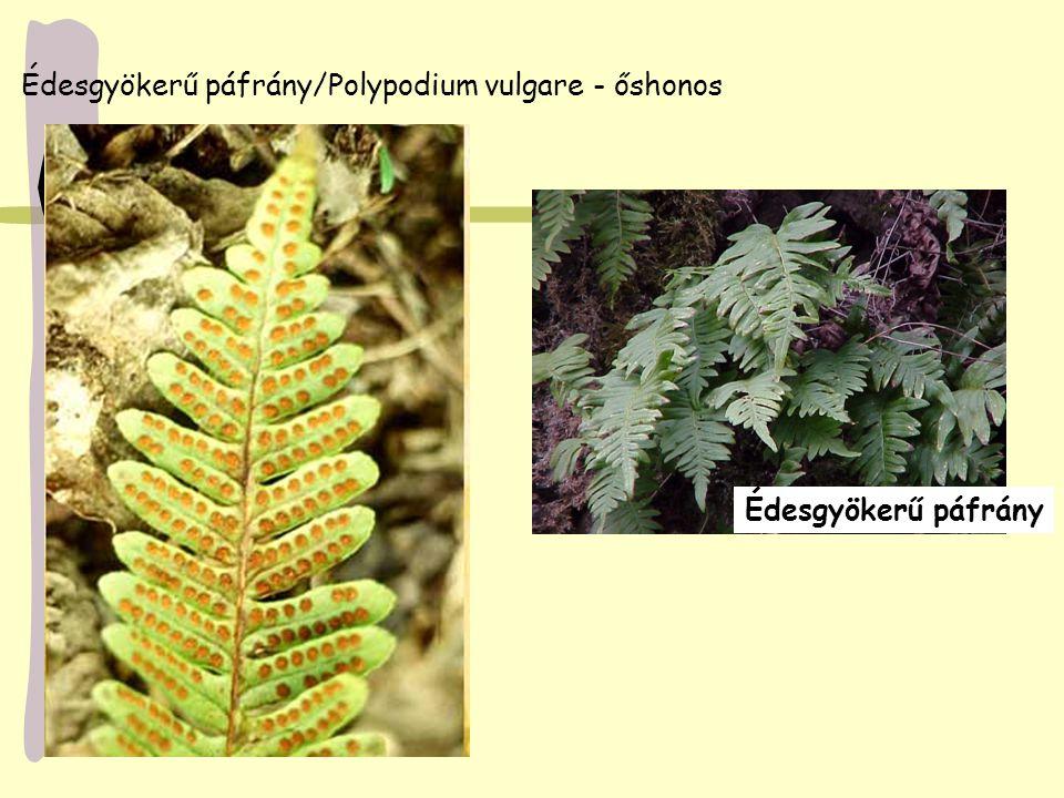 Édesgyökerű páfrány/Polypodium vulgare - őshonos Édesgyökerű páfrány