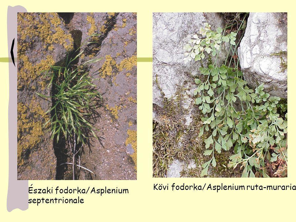 Északi fodorka/Asplenium septentrionale Kövi fodorka/Asplenium ruta-muraria