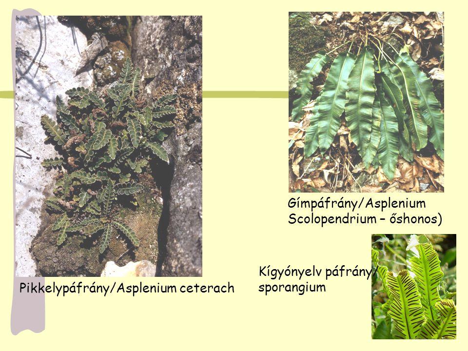 Pikkelypáfrány/Asplenium ceterach Gímpáfrány/Asplenium Scolopendrium – őshonos) Kígyónyelv páfrány/ sporangium