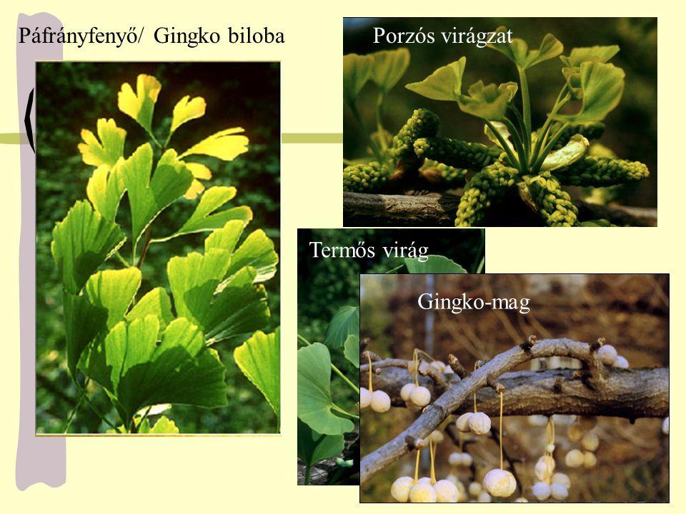 Páfrányfenyő/ Gingko bilobaPorzós virágzat Termős virág Gingko-mag