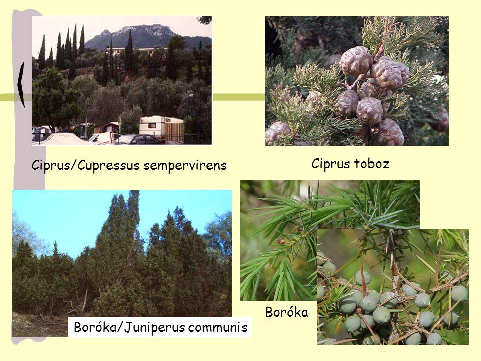 Ciprus toboz Ciprus/Cupressus sempervirens Boróka/Juniperus communis Boróka