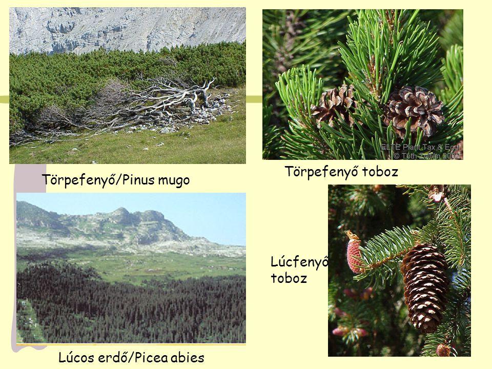 Törpefenyő/Pinus mugo Törpefenyő toboz Lúcos erdő/Picea abies Lúcfenyő toboz
