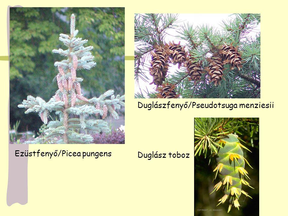 Ezüstfenyő/Picea pungens Duglászfenyő/Pseudotsuga menziesii Duglász toboz