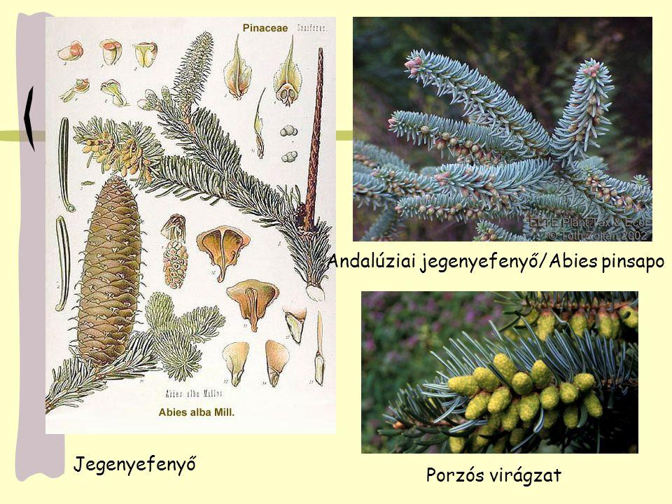 Jegenyefenyő Andalúziai jegenyefenyő/Abies pinsapo Porzós virágzat