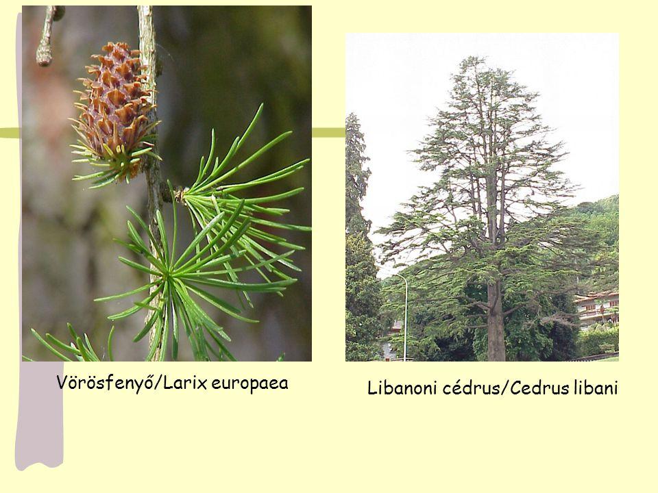Vörösfenyő/Larix europaea Libanoni cédrus/Cedrus libani
