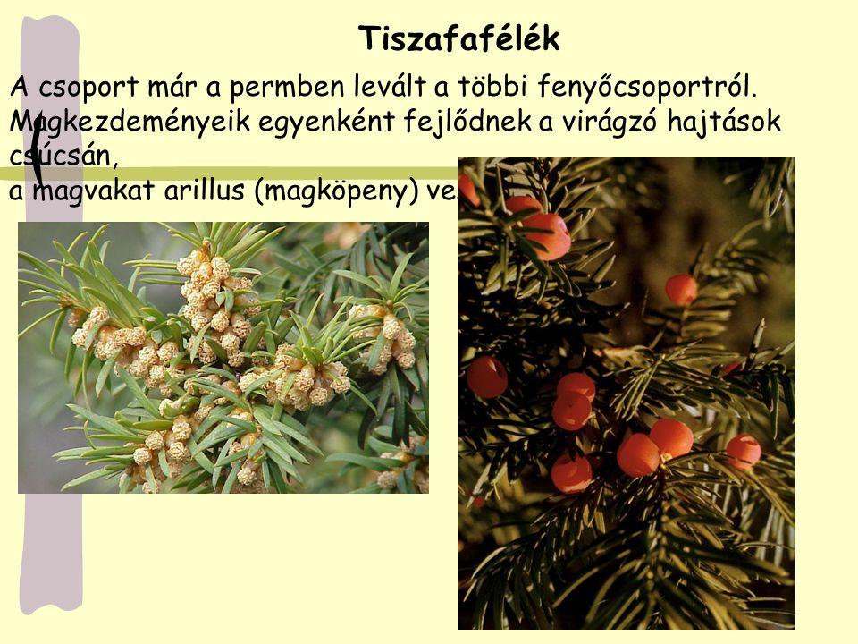 A csoport már a permben levált a többi fenyőcsoportról. Magkezdeményeik egyenként fejlődnek a virágzó hajtások csúcsán, a magvakat arillus (magköpeny)