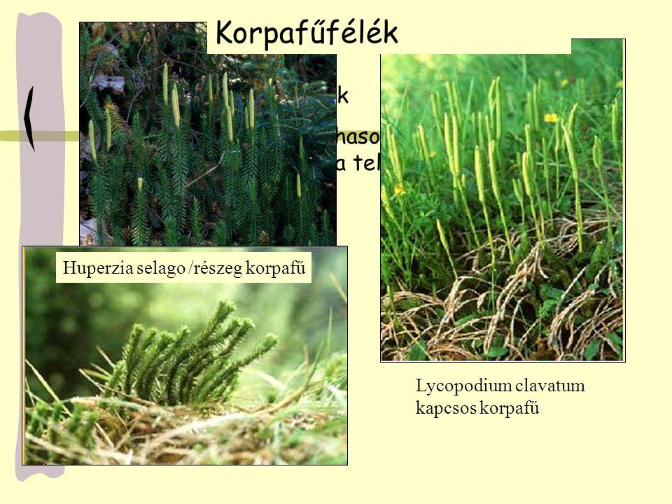 Korpafűfélék szaporodása A kihalt fatermetű korpafüvek heterospórások voltak A ma élők izospórások A gametofiton redukált Az izospórából (haploid, n-kromoszómaszámú) fejlődik ki az előtelep (gametofiton), rajta alakulnak ki az ivarszervek, bennük az ivarsejtek Az ivaros folyamat után a diploid zigótából kifejlődik a sporofiton nemzedék A sporofillumokon a sporangiumokban redukciós osztódással jönnek létre az izospórák