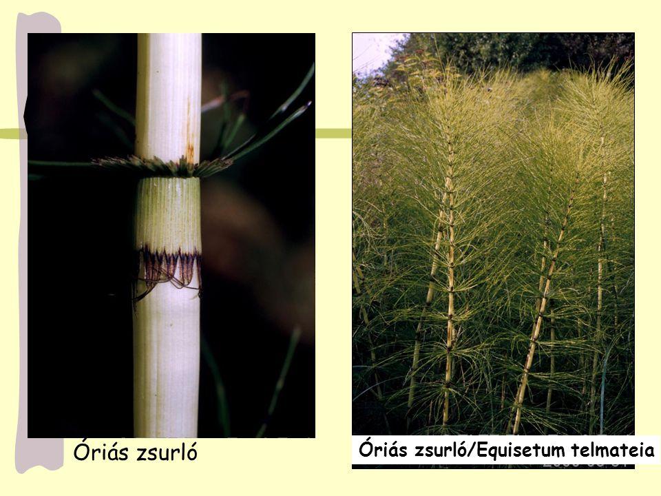 Óriás zsurló/Equisetum telmateia Óriás zsurló
