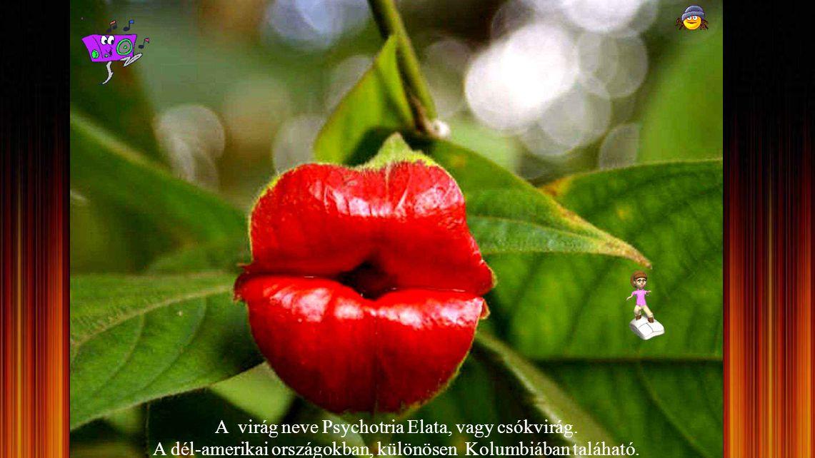A virág neve Psychotria Elata, vagy csókvirág.