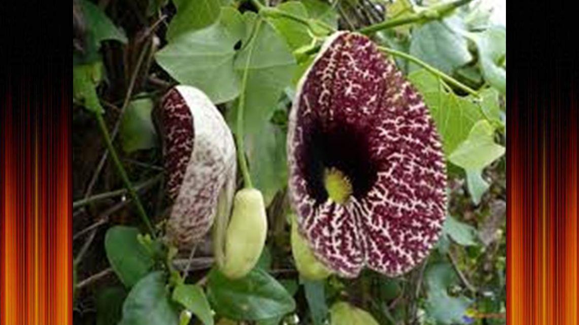 """l' arum titan, originaire de la arum titan forêt tropicale de Sumatra A szumátrai esőerdőkben őshonos a Titán kontyvirág. Beallara, az """"Eurostar"""""""