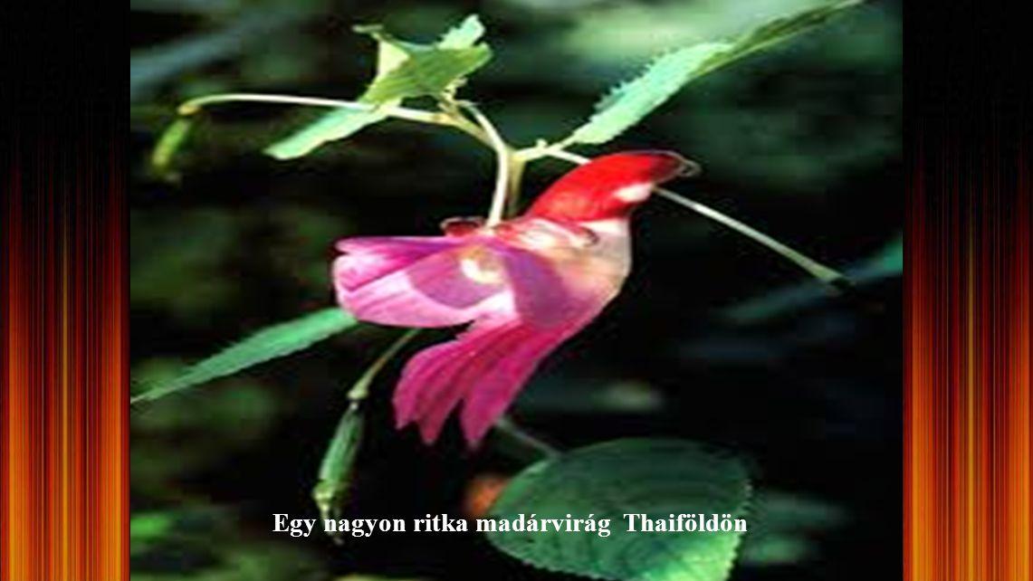 Egy virág a világon ! Madárvirág, védett faj és tilos exportálni. A VIRÁG THAIFÖLDÖN TALÁLHATÓ... A MADÁRVIRÁG NAGYON RITKA