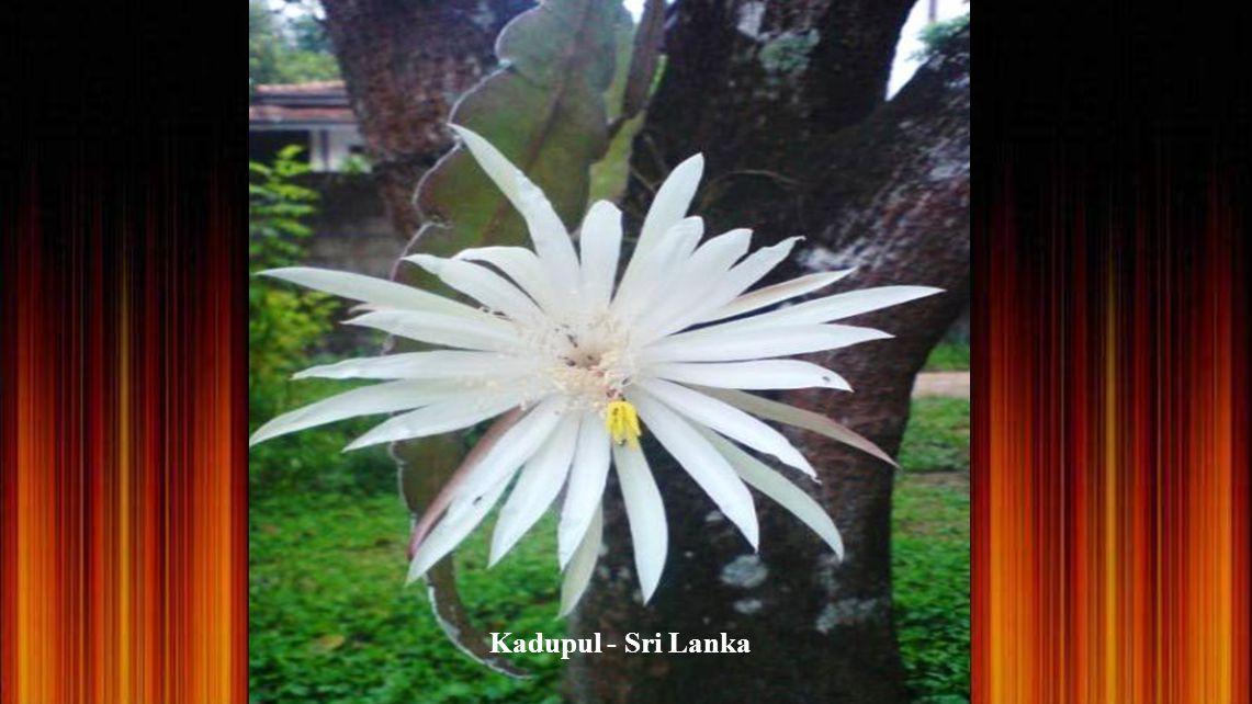 Epifiton Orchidea