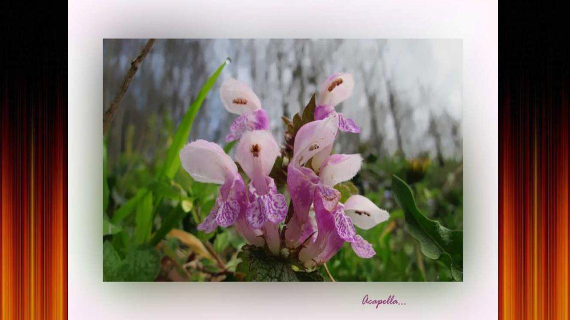 Marionett virág