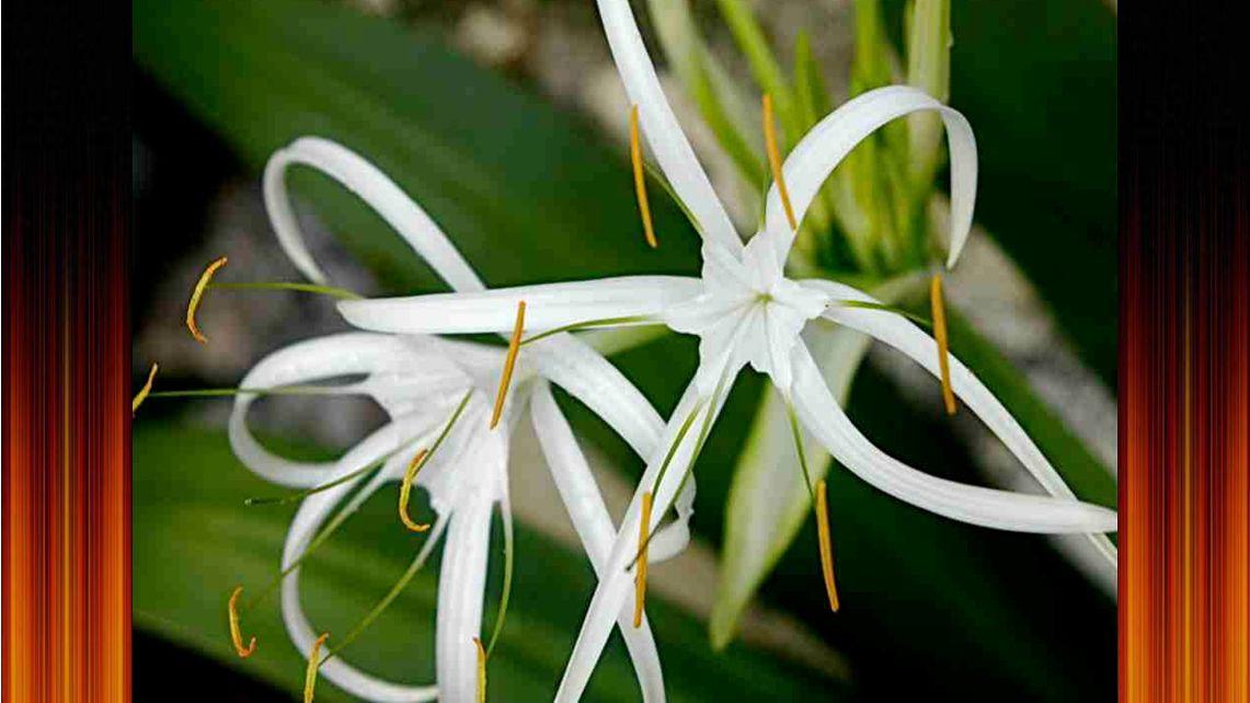 Ritka és csodálatos tánc, az orchidea lányok tánca