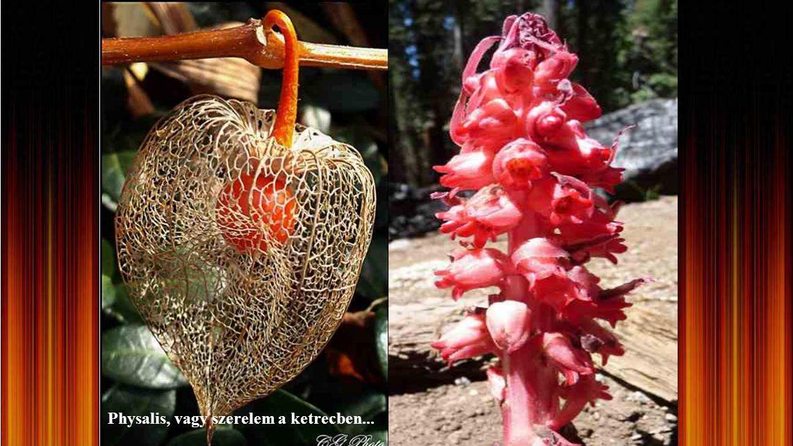 Chantrieri tacca (denevér virág)
