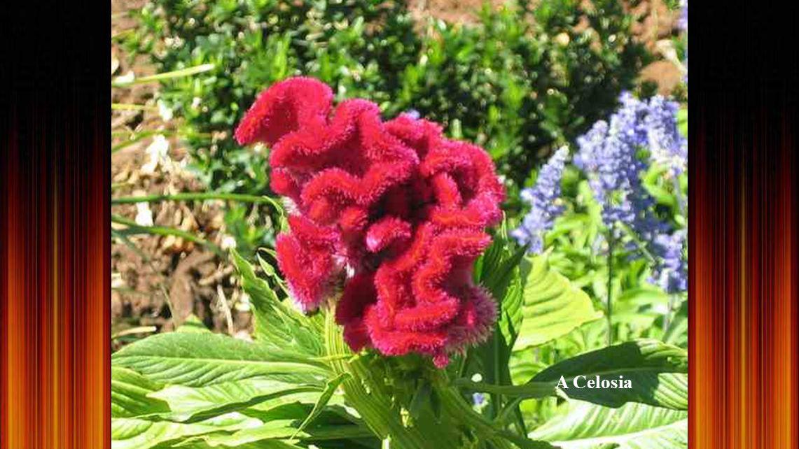 Roridula Gorgon, húsevő növény