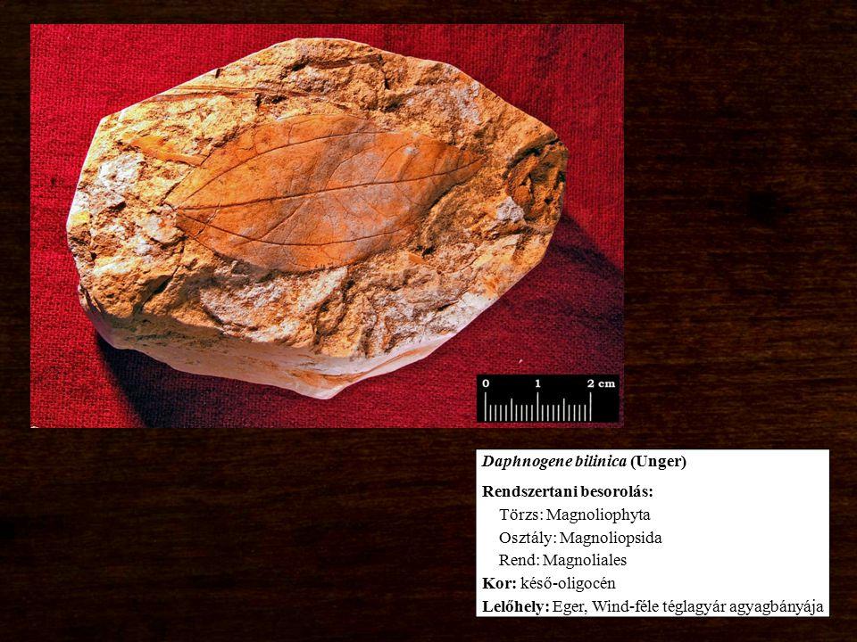 Daphnogene bilinica (Unger) Rendszertani besorolás: Törzs: Magnoliophyta Osztály: Magnoliopsida Rend: Magnoliales Kor: késő-oligocén Lelőhely: Eger, W