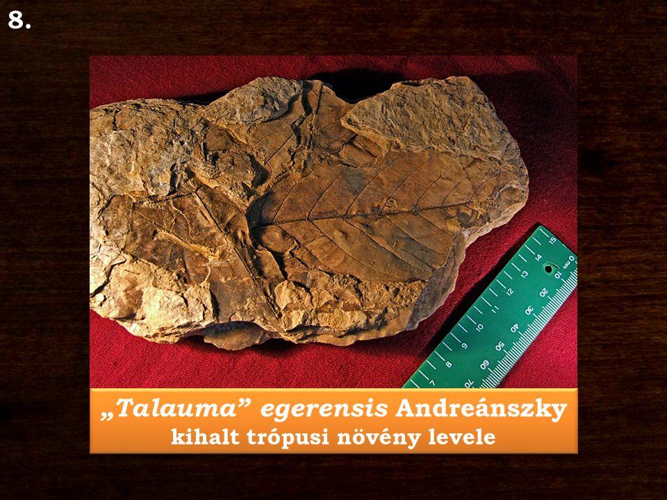 """""""Talauma"""" egerensis Andreánszky kihalt trópusi növény levele """"Talauma"""" egerensis Andreánszky kihalt trópusi növény levele8."""