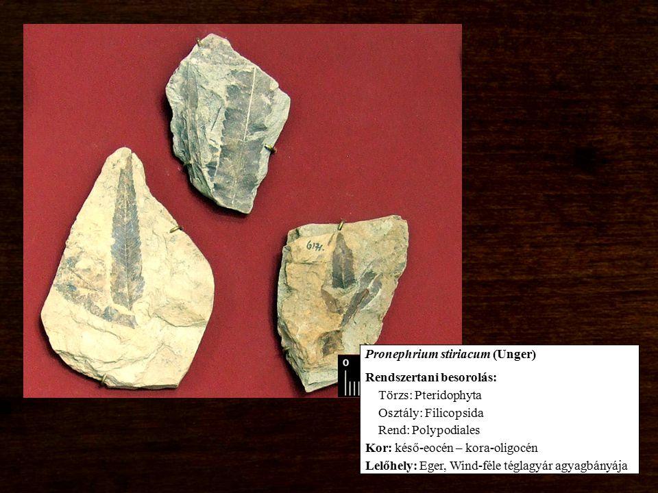 Pronephrium stiriacum (Unger) Rendszertani besorolás: Törzs: Pteridophyta Osztály: Filicopsida Rend: Polypodiales Kor: késő-eocén – kora-oligocén Lelő