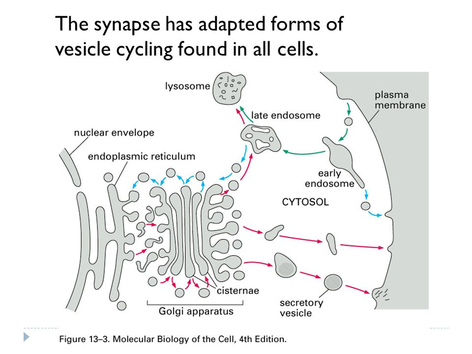 The synapse has adapted forms of vesicle cycling found in all cells.
