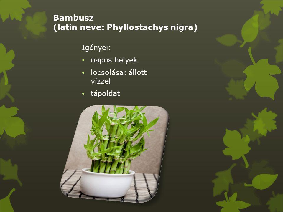 Bambusz (latin neve: Phyllostachys nigra) Igényei: napos helyek locsolása: állott vízzel tápoldat