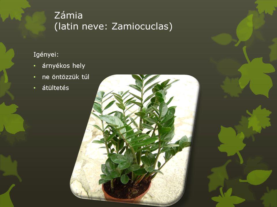 Zámia (latin neve: Zamiocuclas) Igényei: árnyékos hely ne öntözzük túl átültetés