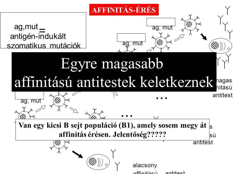 ag, mut... alacsony közepes magas affinitású antitest ag,mut antigén-indukált szomatikus mutációk = Egyre magasabb affinitású antitestek keletkeznek V