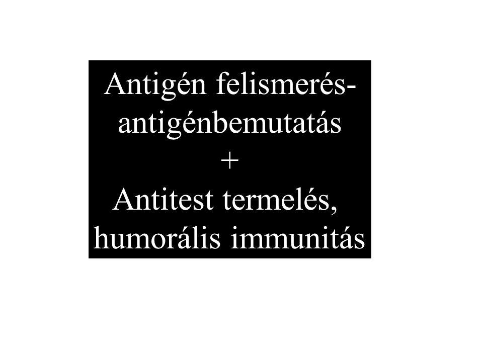 Antigén felismerés- antigénbemutatás + Antitest termelés, humorális immunitás