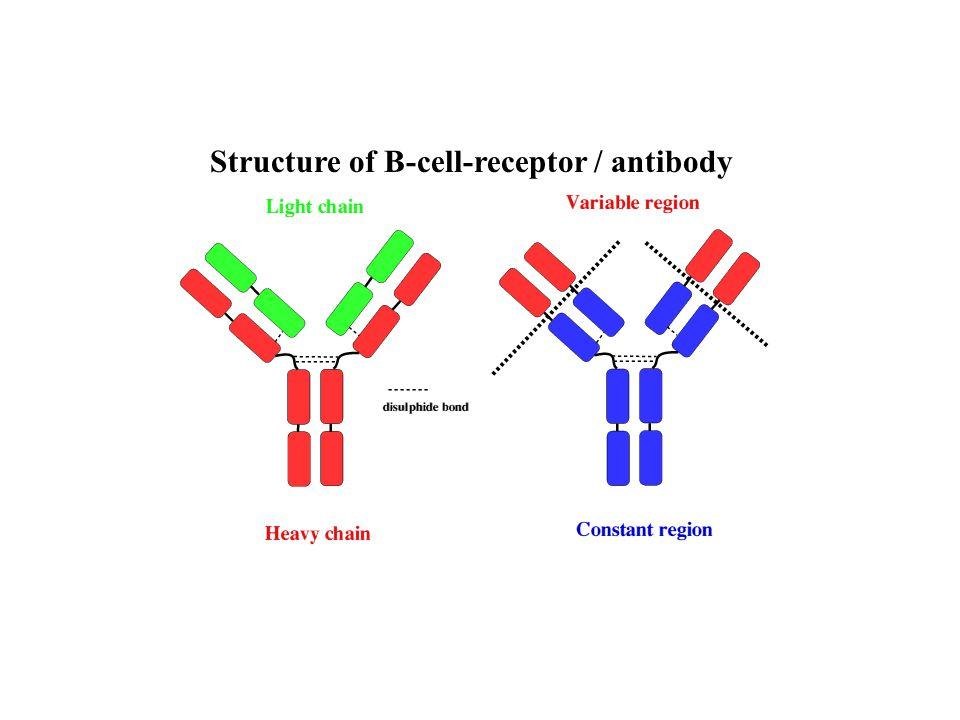 antigén IL-2 IL-4 IL-5 aktiváció osztódás IL-4 IL-5 IL-2 TGFß IL-4 IL-6 IL-2 IFN IL-4 IL-5 IL-2 IL-6 IL-11 IgM IgG IgA IgE IL-13 Th2