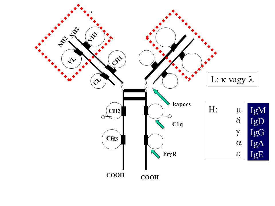Negatív feed-back: egyszerre BCR-n és FcR-on is hatás Pozitív kostimuláció: antigénkötés a BCR-n + komplementreceptoron és/vagy CD40-n ligandhatás