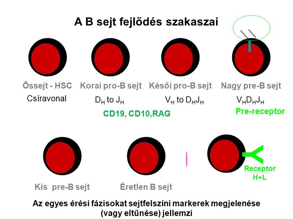 Perifériás A B sejt fejlődés szakaszai Őssejt - HSCKorai pro-B sejtKésői pro-B sejt Kis pre-B sejtÉretlen B sejtérett B sejt Az egyes érési fázisokat sejtfelszíni markerek megjelenése (vagy eltűnése) jellemzi Csíravonal D H to J H V H to D H J H VHDHJHVHDHJH Nagy pre-B sejt Pre-receptor Y Receptor H+L CD19, CD10,RAG