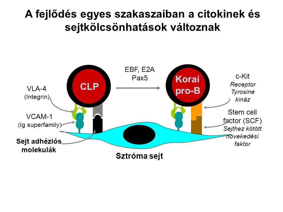 Korai pro-B c-Kit Receptor Tyrosine kináz Stem cell factor (SCF) Sejthez kötött növekedési faktor VLA-4 (Integrin) CLP A fejlődés egyes szakaszaiban a citokinek és sejtkölcsönhatások változnak Sztróma sejt Sejt adhéziós molekulák VCAM-1 (Ig superfamily) EBF, E2A Pax5