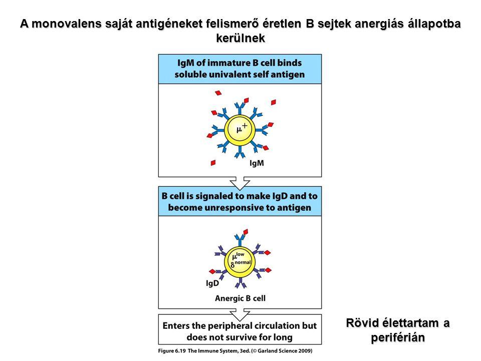 A monovalens saját antigéneket felismerő éretlen B sejtek anergiás állapotba kerülnek Rövid élettartam a periférián