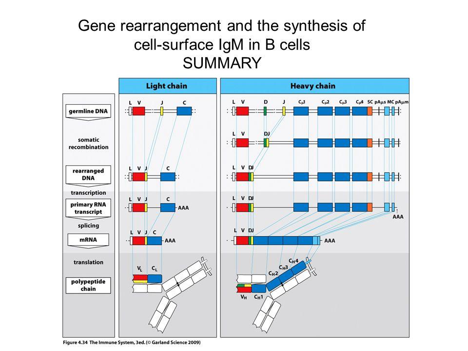szigorúan ellenőrzött 1.Az immunoglobulin gén szegmensek szigorúan ellenőrzött átrendeződése egy egyedi H- és L-lánc 2.Egy adott B-sejt elkötelezetté válik egy egyedi H- és L-lánc variábilis domén szintézisére, ami meghatározza a specificitást 3.Egy adott egyedben nagy B-sejt készlet (repertoire) alakul ki, ahol az egyes B-sejt klónok különböző H- és L-lánc variábilis doménekkel rendelkeznek 4.Ez a potenciális B-sejt készlet sokféle különböző antigén felismerésére képes 5.A naív éretlen B-sejtek azonos H- és L-lánc variábilis régiókkal rendelkező IgM és IgD felszíni immunoglobulint is kifejeznek A SZOMATIKUS GÉN ÁTRENDEZŐDÉS ÉS ALLÉL KIZÁRÁS EREDMÉNYE