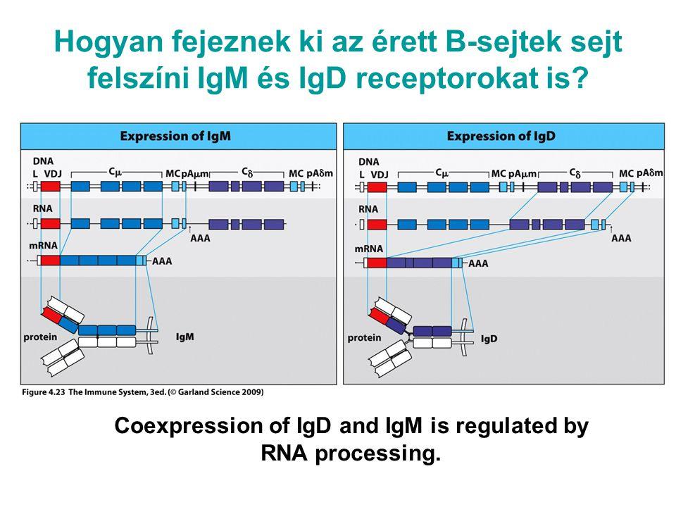 Hogyan működik Sikeres génátrendeződés gátolja a rekombinációt a másik kromoszómán ALLÉL KIZÁRÁS Csak egyféle H- és L-lánc szintetizálódik A sejtfelszínre 2 H- és 2 L-láncból álló dimerek kerülnek ki .