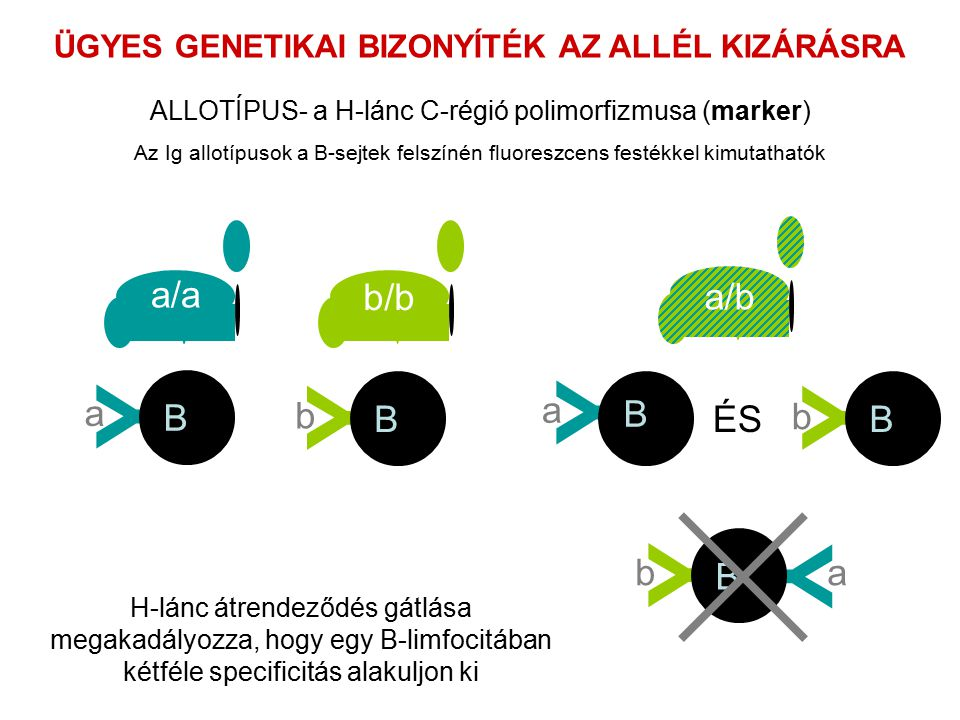 ÜGYES GENETIKAI BIZONYÍTÉK AZ ALLÉL KIZÁRÁSRA Az Ig allotípusok a B-sejtek felszínén fluoreszcens festékkel kimutathatók a/a b/b a/b Y B b Y B a Y B b Y Y B ab Y B a ÉS ALLOTÍPUS- a H-lánc C-régió polimorfizmusa (marker) H-lánc átrendeződés gátlása megakadályozza, hogy egy B-limfocitában kétféle specificitás alakuljon ki