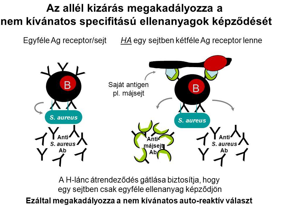 Y Y YY A H-lánc átrendeződés gátlása biztosítja, hogy egy sejtben csak egyféle ellenanyag képződjön Az allél kizárás megakadályozza a nem kívánatos specifitású ellenanyagok képződését B Saját antigen pl.