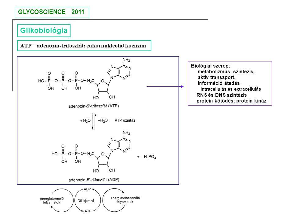 Glikobiológia ATP = adenozin-trifoszfát: cukornukleotid koenzim ATP-szintáz Biológiai szerep: metabolizmus, szintézis, aktív transzport, információ át