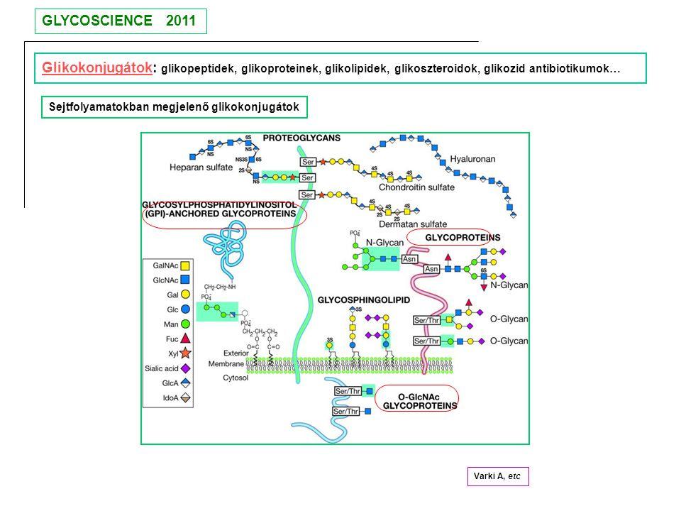 Glikokonjugátok: glikopeptidek, glikoproteinek, glikolipidek, glikoszteroidok, glikozid antibiotikumok… Sejtfolyamatokban megjelenő glikokonjugátok Va