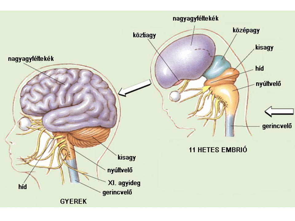 az agyterületek összehasonlítása