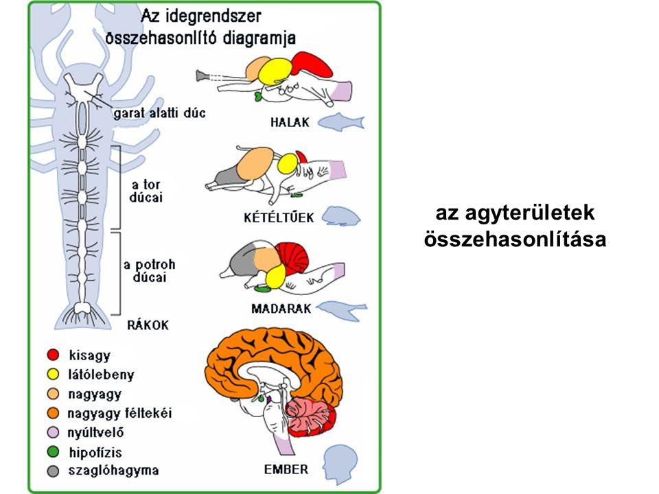 házimacska agya emberi agy